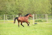 Horse galloping in a meadow in spring — Stok fotoğraf
