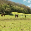 Sunny countryside landscape with horses in the spring — Stock Photo
