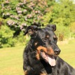 Portrait of a purebred french sheepdog beauceron — Stock Photo