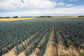 Cultivation of leeks in the sand in a field in Normandy — ストック写真