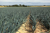 Cultivation of leeks in the sand in a field in Normandy — Stock Photo