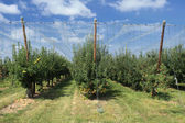 Apple orchard with a safety net — Stock Photo