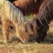 Pony poney — Stockfoto