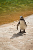 Penguin manchot — Stock Photo