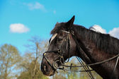 Portrait of a horse thoroughbred English — Stok fotoğraf