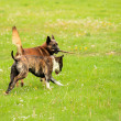Malinois shepherd and pitbull playing — Stock Photo #18751277