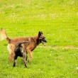 Malinois shepherd and pitbull playing — Stock Photo