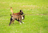 Malinois shepherd and pitbull playing — Stock fotografie