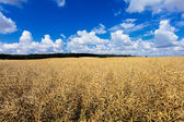 Dry oil rape field in early summer ready for harvest — Stock Photo