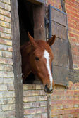 Kopf des pferdes in der box — Stockfoto