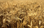 Wheat fields in summer — Stock Photo