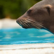 Sea lion — Stock Photo