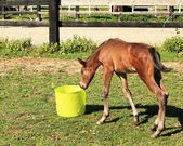 Young foal who playing with a bucket of water — Stock Photo
