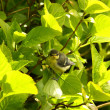 Baby blue tit, chick - Stock Photo