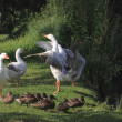 White geeses and ducks — Stock Photo #20790773