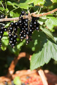 Bunch of blackcurrant on the branch — Stock Photo