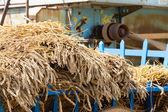 Sheaf of wheat harvested by ancient tradition — Stock Photo