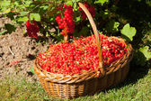 Basket of red currants in the garden — Stock Photo