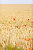 Poppies — Foto de Stock