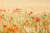 Poppies in a field — Stock Photo