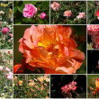 Collage of roses — Stock Photo #47984123