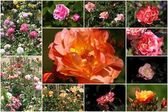 Collage de rosas — Foto de Stock
