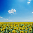 Sunflowers field and white clouds on blue sky — Stock Photo #12710194