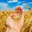Gold harvest in hand — Stock Photo #12710268