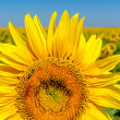 Beautiful sunflower over field — Stock Photo