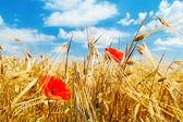 Red poppy on field — Stock Photo