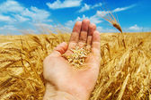 Gold harvest in hand — Foto Stock