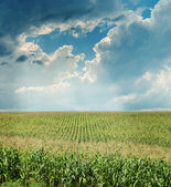 Dramatic sky over maize field — Stock Photo