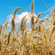 Gold ears of wheat under sky — Stock Photo