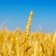 One golden ear of wheat — Stock Photo