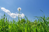 Dandelion in green grass field and blue sky — Stock Photo