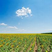 Sunflowers field under light blue sky — Stock Photo