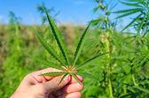 Verde folha de maconha na mão — Foto Stock