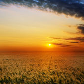 Golden sunset over field with barley — Stock Photo