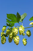 Branch of green hops — Stock Photo