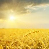 Sunset over golden field. soft focus — Stock Photo