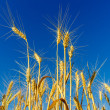 Gold ears of wheat under deep blue sky — Stock fotografie