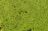 Green duckweed on water as background — Stock Photo