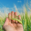Green ear of wheat in hand — Stock Photo #14366531