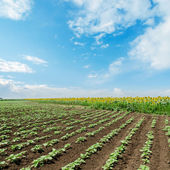 Field with green sunflowers under cloudy sky — Stock Photo