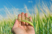 Green ear of wheat in hand — Stock Photo