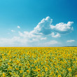 Stock Photo: Field with sunflowers under cloudy sky