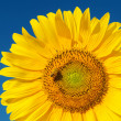 Sunflower with bee under deep blue sky — Stock Photo
