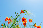 Poppy flowers with green wheat under sunny sky — Stock Photo