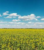 Fält med baksidan av solrosor och himlen med moln — Stockfoto