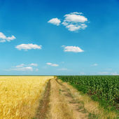 Dirty road between gold and green fields under blue sky — Stock Photo